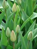 Geschlossene Tulpen Lizenzfreies Stockfoto