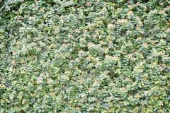 Geschlossenes-oben Grün lässt Wandhintergrund Lizenzfreie Stockfotografie