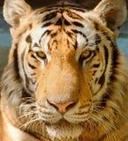 Geschlossenes-oben Tigergesicht Stockfotografie