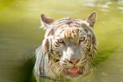 Geschlossenes-oben weißes Tigergesicht Stockfotografie