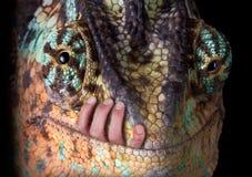 Geschluckt durch ein Chamäleon Stockbilder