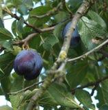 Geschmackvolle Frucht in den Zweigen Lizenzfreie Stockbilder