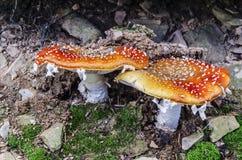 Geschmackvolle Pilze Stockbild