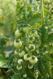 Geschmackvolle Tomaten Stockfoto