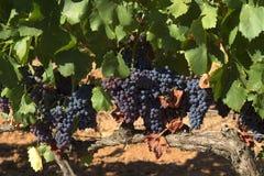 Geschmackvolle Weintrauben vor Ernte Lizenzfreie Stockfotos