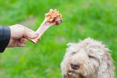 Geschmackvoller Knochen u. Hund, die auf sein Mittagessen warten Stockfotos