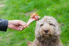 Geschmackvoller Knochen u. Hund, die auf sein Mittagessen warten Lizenzfreies Stockbild