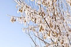 Geschneite Zweige des Zuckerahornholzes Stockfoto