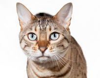 Geschokt en katje dat van Bengalen kijkt het staart Stock Afbeelding