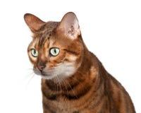 Geschokt en katje dat van Bengalen kijkt het staart Stock Fotografie