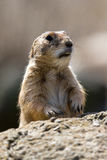 Geschokte Marmot Royalty-vrije Stock Foto