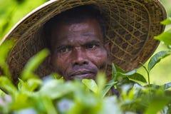 Geschoolde arbeiderhanden die groene thee ruwe bladeren in Moulovibazar, Bangladesh plukken Stock Fotografie