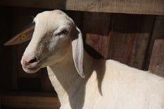 Geschoren schapen stock fotografie