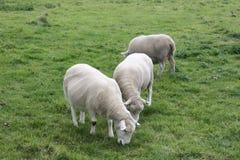 Geschoren Sheeps Stock Afbeelding
