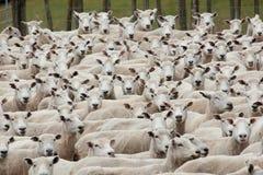 Geschorene Schafe stockbilder