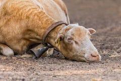 Geschorene Schafe, Mallorca Lizenzfreies Stockbild