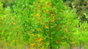 Geschossen auf Kennzeichen II Canons 5D mit Hauptl Linsen Autumn Sunrise In Green Forest stock video footage