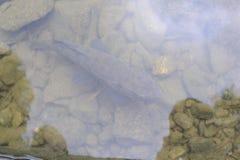 Geschossen vom Karpfen im Wasser von oben Stockbild