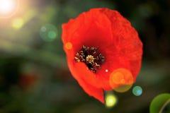 Geschossen von den Mohnblumen Stockfoto