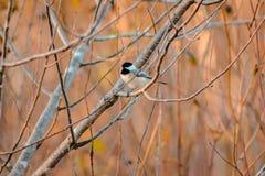 Geschossen von einem Chickadee in einem Baum Lizenzfreie Stockfotografie