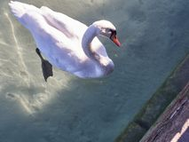 Geschossen von einem Schwan im See von Annecy lizenzfreies stockbild