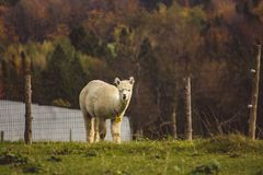 Geschossen von einem weißen Lama hinter einem Zaun lizenzfreies stockbild