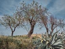 Geschossen von einer ländlichen Umwelt mit Olivenbäumen stockbild