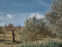 Geschossen von einer ländlichen Umwelt mit Olivenbäumen lizenzfreies stockfoto