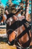 Geschossene Hauptnahaufnahme eines Pferds auf Sommerweide Nahaufnahme eines jungen Pferds auf natürlichem Hintergrund draußen lizenzfreie stockfotografie