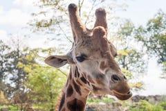 Geschoten girafhoofd - horizontaal Royalty-vrije Stock Fotografie