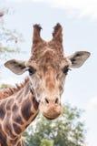 Geschoten girafhoofd - verticaal Stock Fotografie