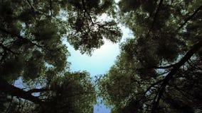 Geschoten naar hemel in bosje van bomen stock videobeelden