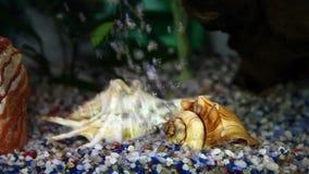 geschoten van een gouden vis in een tank van huisvissen stock footage