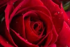 Geschoten van een rood nam voor valentijnskaartbehang toe Royalty-vrije Stock Foto's