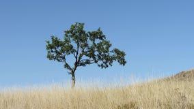 Geschoten van eenzame boom op een weide tegen de blauwe hemel stock video