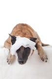Geschraubter Verband auf dem Hundekopf Stockbild