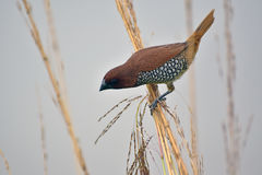 Geschubd-Breasted Munia Royalty-vrije Stock Foto