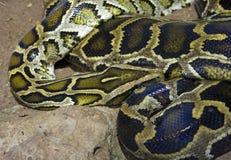 Geschubde reptielterrarium met een netvormig patroon van de pythonboa Royalty-vrije Stock Foto's