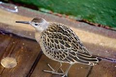 Geschwächtes Vogelflugmeer und gesessen auf Schiffsdeck Lizenzfreies Stockbild