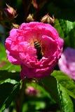 Geschwind color de rosa que sube rosado Nordlandrose, Geschwind 1884 con los Apis occidentales Mellifera de la abeja de la miel p Fotos de archivo libres de regalías