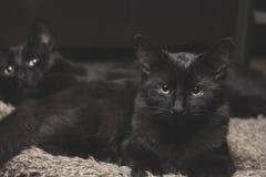 Geschwister der schwarzen Katze Stockbild
