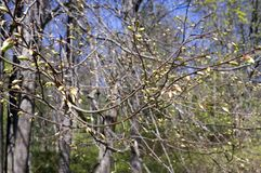 Geschwollen herauf Nieren auf Bäumen lizenzfreie stockfotos