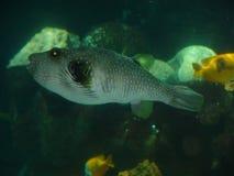 Geschwollene Fische Stockbild