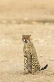 Gesessener und verwirrender Gepard Stockfoto
