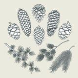 Gesetzte botanische Elemente - Kegel und Niederlassungen der Kiefer, Fichte lizenzfreie abbildung