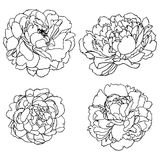 Gesetzte Schattenbilder des Vektors von den Hand gezeichneten Pfingstrosenblumen lokalisiert Stockfotografie