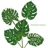 Gesetzte tropische monstera Blätter realistische Zeichnung in der Weinleseart Lizenzfreies Stockfoto