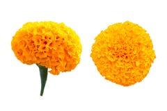 Gesetztes Isolat der gelben Ringelblume auf weißem Hintergrund stockbild