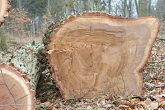 Gesägtes Baumstamm-Eichenholz Stockbild