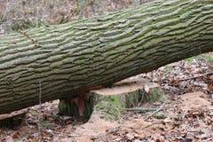 Gesägtes Baumstammholz Stockfoto